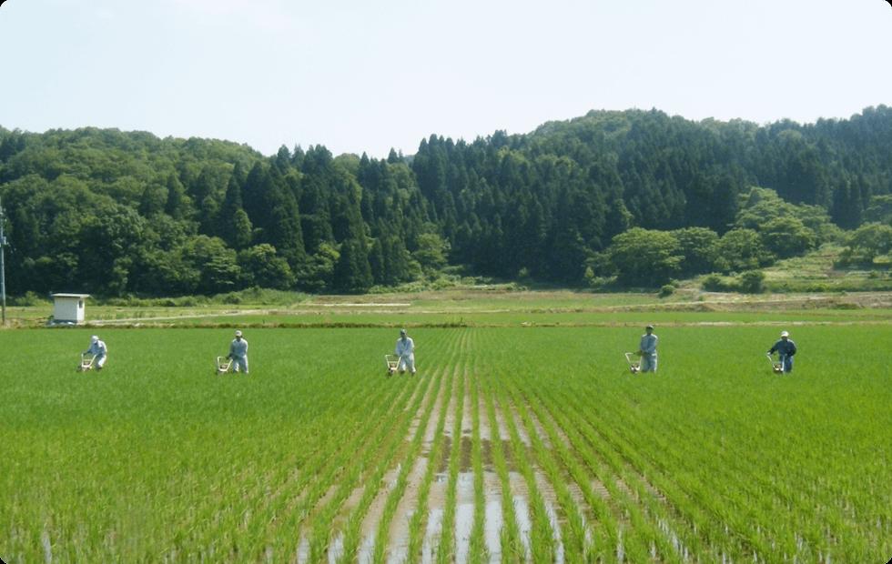 山波農場の米作り